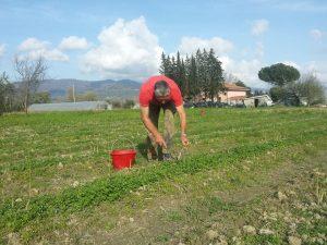 Nedo Mannucci raccoglie gli asparagi