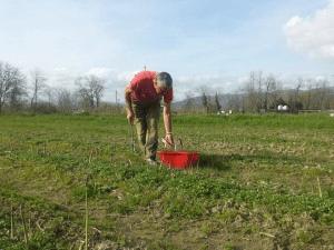 raccolta asparagi