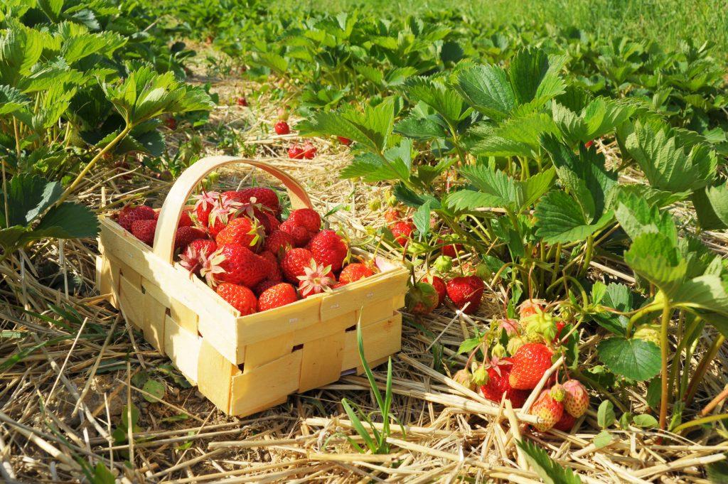 Frische Erdbeeren im Korb