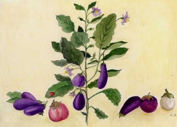 melanzana-disegno