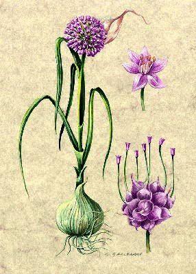 I fiori dell'aglio