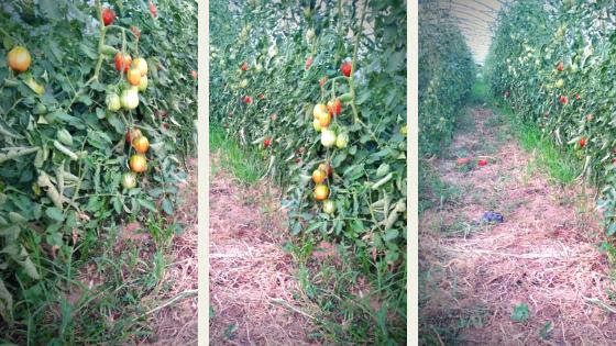 pomodori biologici pacciamatura