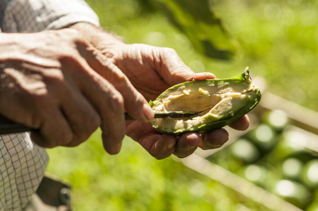 L'avocado siciliano: incredibilmente cremoso e con un gusto che ricorda il pistacchio